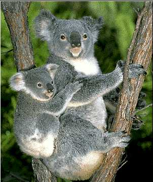 Koala Bears at Coomera Town Centre Relocated